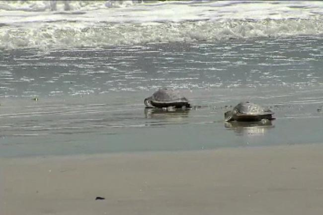5 rehabilitated sea turtles returned to ocean (Image 1)