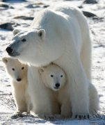 FILE - In this Nov. 6, 2007, file photo, a polar bear mother and her two cubs are seen in Wapusk National Park on the shore of Hudson Bay near Churchill, Manitoba. About a third of the world's polar bears could face imminent threat from greenhouse gas emissions in as soon as a decade, according to a new report by the U.S. Geological Survey released Tuesday, June 30, 2015. The effects of diminished sea ice will lead to population declines throughout the century, and scientists didn't see a rebound in population numbers from the modeling that went up to the year 2100, according to the report. (Jonathan Hayward/The Canadian Press via AP, File) MANDATORY CREDIT