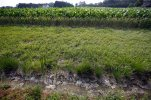 UPDATES CAPTION TO REFLECT JUDGE'S RULING THURSDAY - This June 11, 2015, photo shows a dry water ditch next to a corn field in Cordova, Md. A federal judge in North Dakota on Thursday, Aug. 27, 2015, blocked a new Obama administration, which would have given the U.S. Environmental Protection Agency and Army Corps of Engineers authority to protect some streams, tributaries and wetlands under the Clean Water Act. The rule was scheduled to take effect Friday. (AP Photo/Alex Brandon)