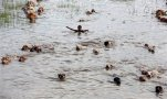 Indian boys swim with their cattle through flood waters as they try to take them to a safer place at Kholabuya village, 65 kilometers (40 miles) east of Gauhati, India, Tuesday, Sept. 1, 2015. Monsoon floods have inundated hundreds of villages across the northeast Indian state of Assam, killing several people and forcing some 800,000 people to leave their homes. (AP Photo/Anupam Nath)