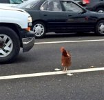 In this Wednesday, Sept. 2, 2015 photo, a brown chicken runs across the road through the lanes of a toll plaza on the BayBridge in San Francisco. California Highway Patrol officers managed to capture the felonious chicken that fouled up rush-hour traffic on the bridge. (Jeff Chu via AP)  MANDATORY CREDIT