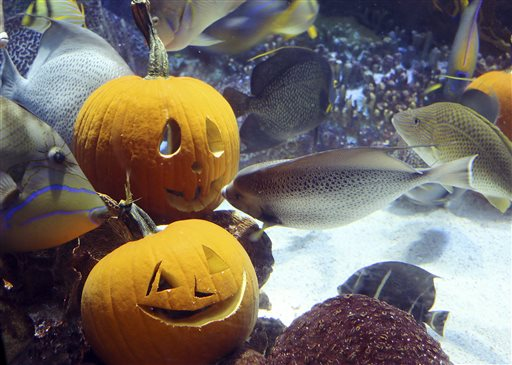 In this photo released by New England Aquarium, fish swim around carved pumpkins among coral reefs in the aquarium's 225,000-gallon ocean tank Friday, Oct. 30, 2015, in Boston. (New England Aquarium via AP)