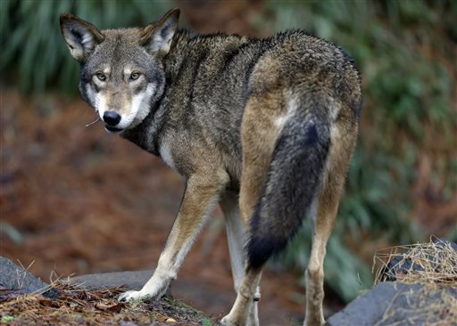 FILE - In this file photo taken Tuesday, Jan. 13, 2015, a male red wolf enjoys a feeding in it's habitat at the Museum of Life and Science in Durham, N.C.  A lawsuit filed Thursday, Nov. 12, 2015,  argues that the U.S. Fish and Wildlife Service violated the Endangered Species Act when it gave landowners permission on two occasions to kill wolves without meeting strict legal requirements. It asks a judge to force the service to stop such incomplete kill approvals and to perform a past-due review of the wolves' endangered status. (AP Photo/Gerry Broome)