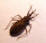 kissing_bug