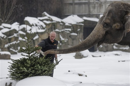 A zookeeper feeds an elephant with Christmas trees at the zoo Tierpark in Berlin, Germany, Thursday, Jan. 7, 2016. Every year discarded Christmas trees are offered to the animals as a snack. (AP Photo/Markus Schreiber)