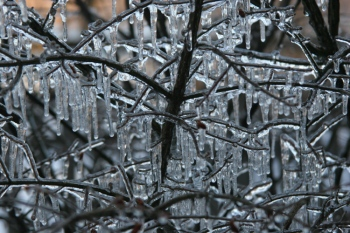 icicles-on-branhes-copy