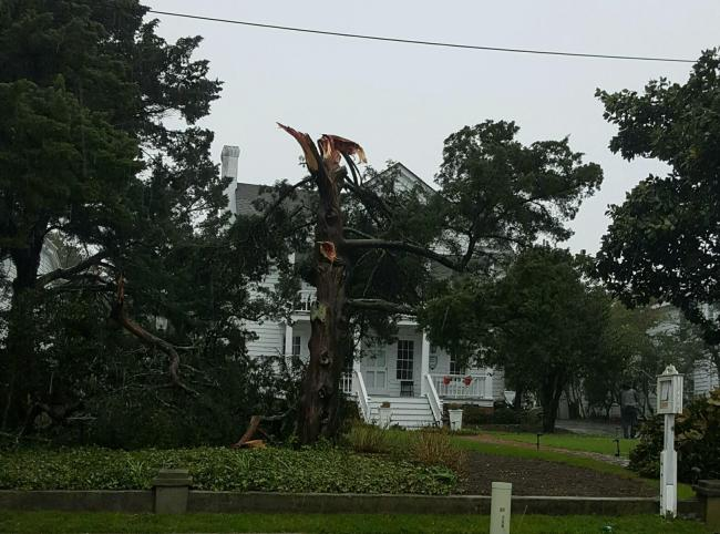 Tree in front of Cedars Inn B&B on Front Street. Courtesy: Charlie Burgess