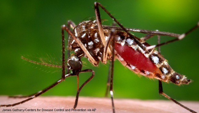 This 2006 photo provided by the Centers for Disease Control and Prevention shows a female Aedes aegypti mosquito in the process of acquiring a blood meal from a human host.