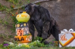 Vila, the third oldest gorilla in the world, marked her 59th birthday at the San Diego Zoo Safari Park