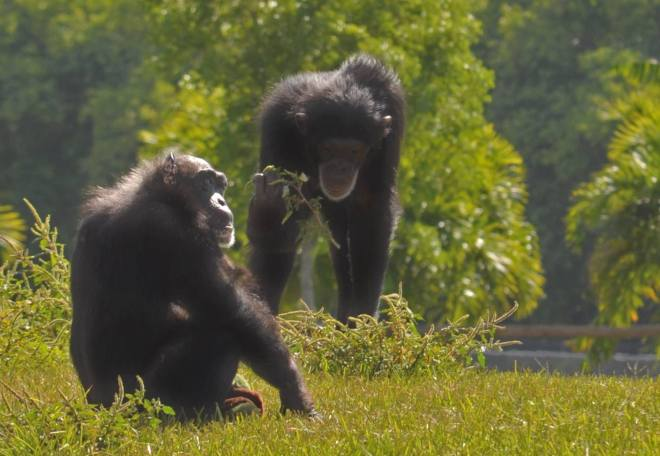 Little Mama, the oldest chimp alive (estimated at 78-years-old) & Olive, Lion Country Safari's youngest chimp at age 10, have a close bond and can often be seen holding hands. Although Olive is rambunctious and fun-loving and Mama prefers to spend her days relaxing, they have a special relationship! #WildWed (Courtesy: Lion Country Safari via Facebook)
