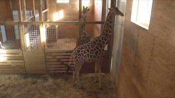 A very pregnant April the giraffe at Animal Adventure Park in Harpursville, New York. (WIVT/WBGH)