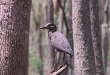 Yellow-crowned night-heron. Courtesy: Roanoke River National Wildlife Refuge